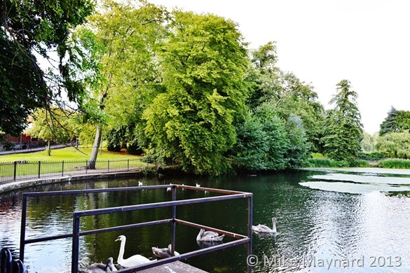 Swans and signets at Redhouse Park