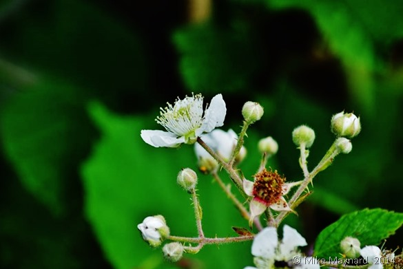 flowers on the brambles