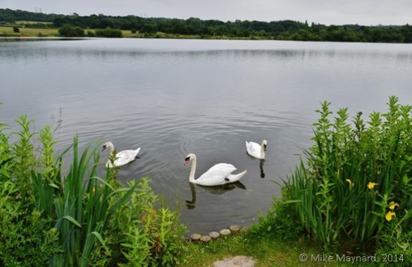 Swans on Swan Pool, Sandwell Valley Country Park