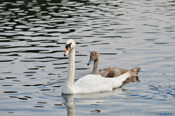 Swan and signet on Forge Mill lake