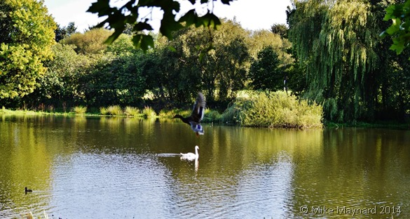 Swan with duck flying past